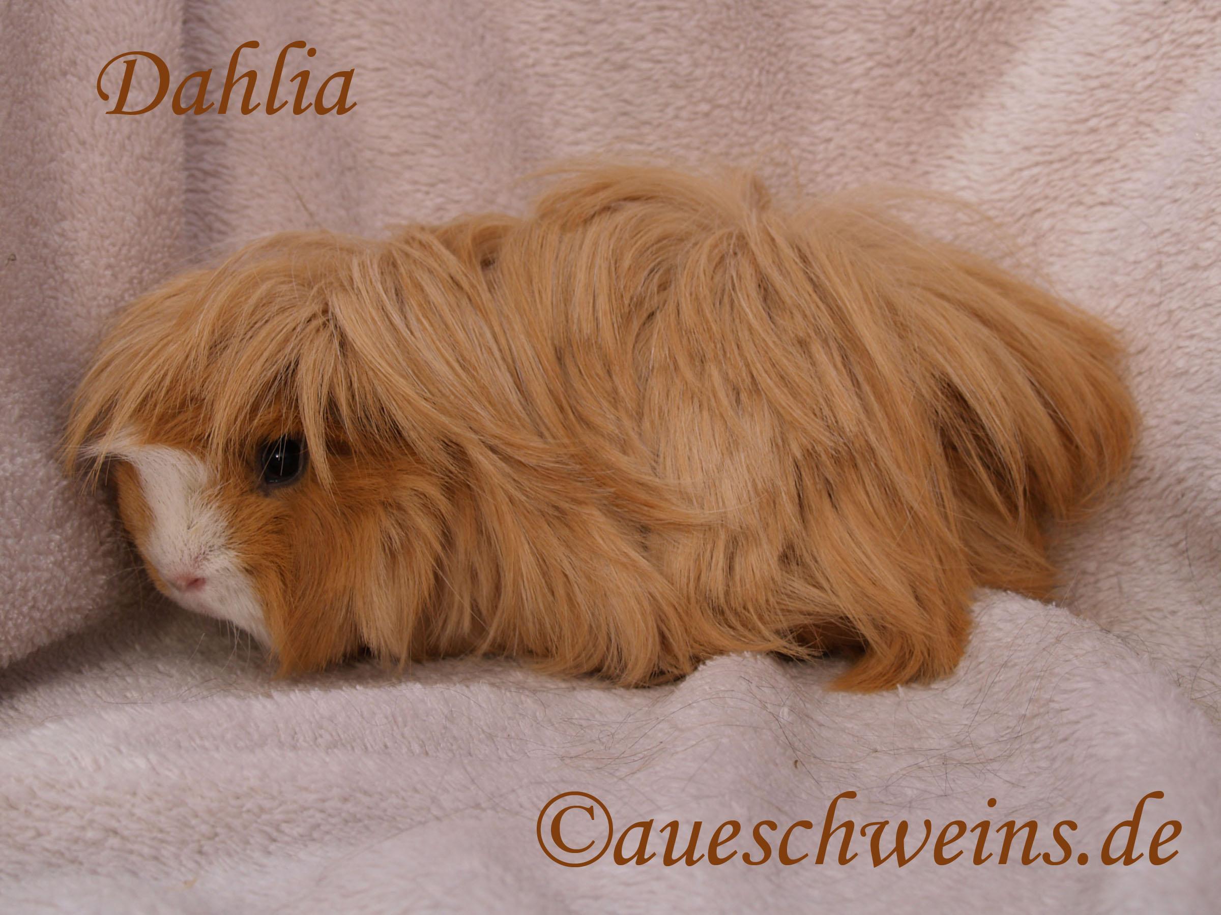 Dahlia von den Aueschweins